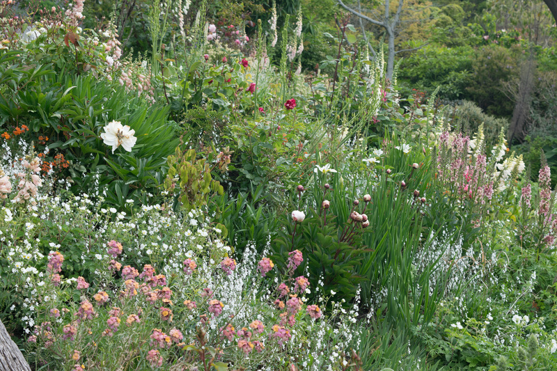 white and tan perennial border with wall flowers, peonies, rose and annual omphlodies