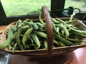 Green beans picked yesterday from our organic vegetable garden