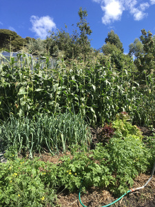 organic vegetable garden. Corn crop