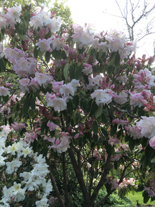 Rhododendron Loderi Sir Edmund in the garden at Hereweka accommodation