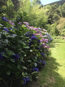 Hydrangea walk at Hereweka