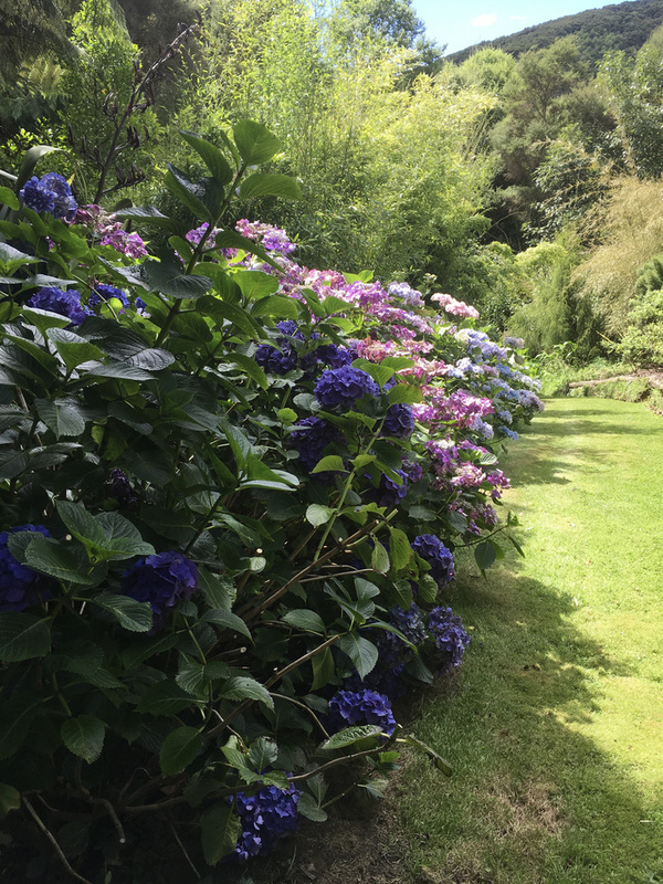 Hydrangea Walk at Hereweka Accommodation mid February