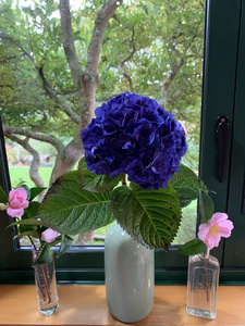 Hydrangea Merits supreme and sasanqua camillia Hereweka Garden