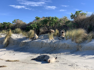 Hooker Sea Lions on Allans Beach August 2019