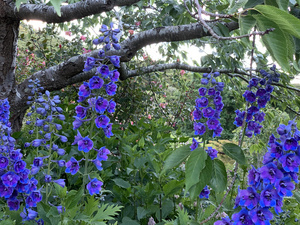 Delphiniums seen from Hereweka Garden Accommodation